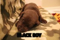Labrador Retriever PUPPY FOR SALE ADN-62845 - Chocolate Labrador Retriever Puppies
