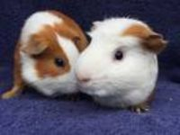 Adopt Jerez (Bonded to Gatwick) a Guinea Pig small animal in Imperial Beach