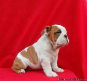 English bulldog puppy lovely full grown