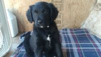 Golden Retriever-Border Collie Mix PUPPY FOR SALE ADN-56388 - Golden retriever blue heeler border collie puppy