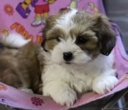 Adorable bichon shih tzu puppies