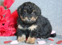 Lhasa-Poo PUPPY FOR SALE ADN-64379 - Lhasapoo Puppy for Sale