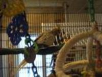 Adopt Cockatiels a Cockatiel