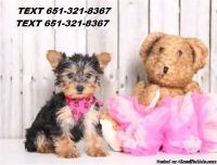 Puppies Available On Free Adoption (YORKIE PUPPIES)