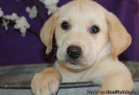 admirable classy Labrador retriever puppies for sale