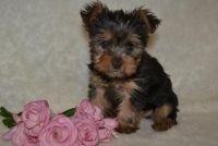 NYGHBFCFG Teacup Yorkshire Terrier Puppies