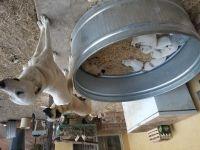 Anatolian Shepherd PUPPY FOR SALE ADN-48520 - Anatolian Shepherd Puppies