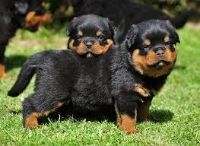 12 WEEKS magnificent and lovely Rottweiler puppies