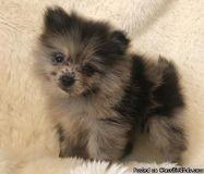 BVCFGRDE Pomeranian Puppies