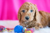 Poodle (Standard) PUPPY FOR SALE ADN-63273 - Sonnie