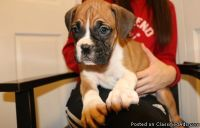 JHYGFCFG Boxer Puppies