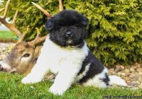 litter of lovable akita puppies. Check out these adorable Akita puppies