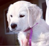 Golden Retriever PUPPY FOR SALE ADN-48916 - English Cream Golden Retriever Puppies