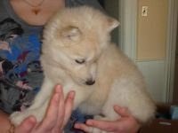 Healthy Siberian Husky Puppies for a good home