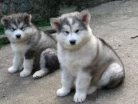 Beautiful Alaskan malamute pups for sale