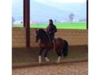 Stunning Andalusian Stallion Dressage Lines