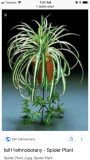 Spider plant offshoots
