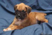 AFRRE Adorable M/F AKC Boxer Puppies