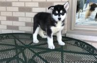 Practically Alaskan Malamute Puppies for sale