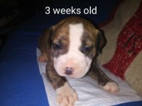 American Pit Bull Terrier PUPPY FOR SALE ADN-62661 - Dual registered pitbull bullies Ukc and abkc regis