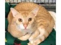 Adopt Ace a Domestic Short Hair