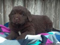 WEFA M\F Newfoundland Puppies.