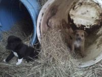 Free border collie cross puppies (Natchitoches )
