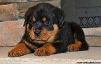 Eastpointe TSHA #! Rottweiler Puppies