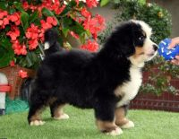 Purebreed bernese mountiandog puppies for rehoming