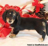 sedgdrhdth Dashchund puppies for sale