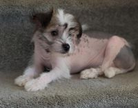 tyevvsg Chinese Crested Puppies Ready for sale