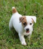 YUNWRTH JACK RUSSELL PUPPIES AVAILABLE FOR SALE Text: (4O4) 692 XX 3714