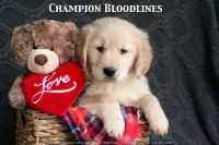 Golden Retriever PUPPY FOR SALE ADN-61909 - Adorable AKC Champion Bloodline Puppies