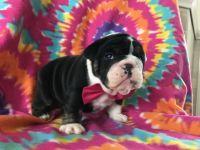 Bulldog PUPPY FOR SALE ADN-51839 - Akc Rola
