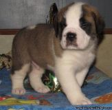 BVNJER SAINT BERNARD PUPPIES AVAILABLE FOR SALE Text: (4O4) 692 XX 3714