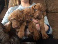 Vizsla PUPPY FOR SALE ADN-54232 - AKC REG vizsla puppies