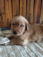 Golden Retriever PUPPY FOR SALE ADN-63281 - Golden Retrievers Puppies