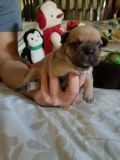 French Bulldog PUPPY FOR SALE ADN-57571 - Chocolate Perfection