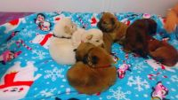 Chow Chow PUPPY FOR SALE ADN-52561 - Chow chow puppies
