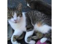 Adopt Blueberry a Brown Tabby Domestic Shorthair / Mixed (short coat) cat in
