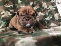 Bulldog PUPPY FOR SALE ADN-51841 - Akc Tank