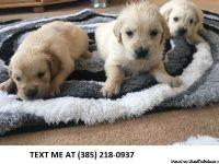Ajdd Golden retriever puppies for sale
