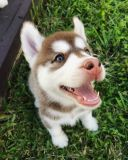 Siberian Husky PUPPY FOR SALE ADN-52674 - Siberian Husky Puppies For Sale