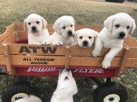 Labrador Retriever PUPPY FOR SALE ADN-64861 - White Labrador Retriever Puppies