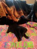 Labrador Retriever PUPPY FOR SALE ADN-56307 - AKC Champion Bloodline Female Puppy Black Lab