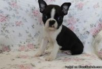 Best Ever Male & Female Boston Terrier Puppies