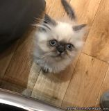seal colourpoint persian kittens boy/girl for sale