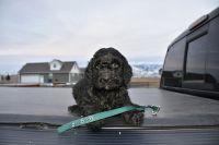 Poodle (Standard)-Gordon Setter Mix PUPPY FOR SALE ADN-63792 - Gordon Doodles