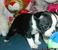 bright Boston terrier puppies ready now