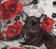 OJHBJKN French bulldog puppies
